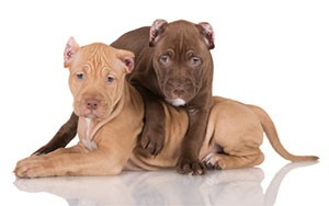American Pit Bull Puppies
